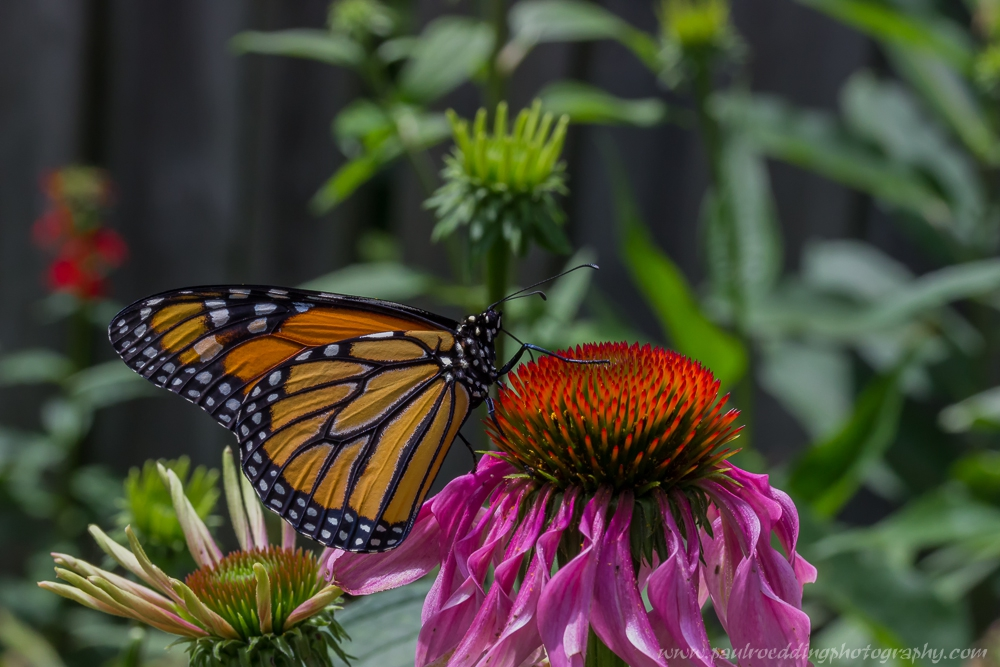 cover photo - If You Plant It, They Will Come: <br> Success From My Monarch Waystation