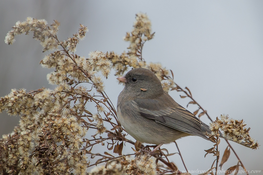 junco - Breathe Easy: Dispelling The Goldenrod Myth