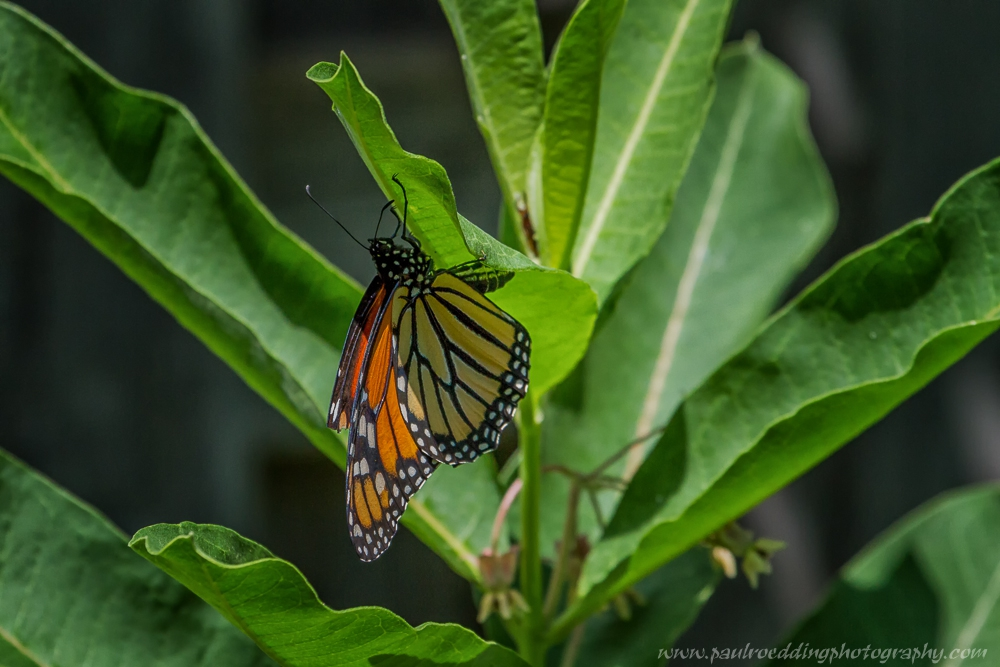 lay - If You Plant It, They Will Come: <br> Success From My Monarch Waystation