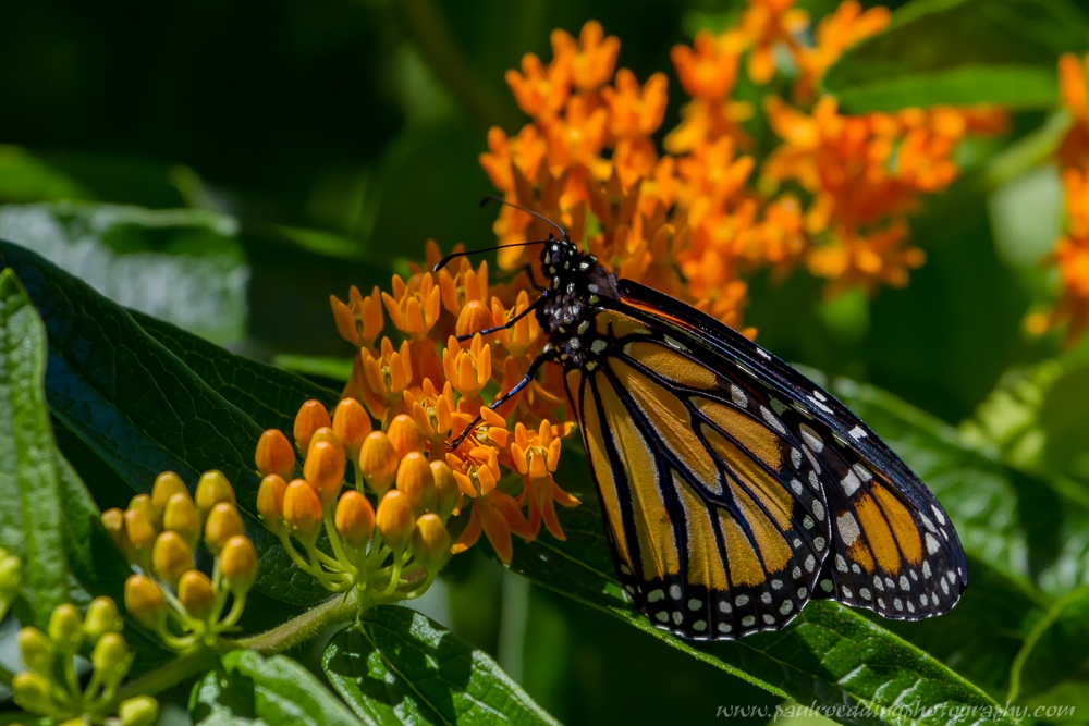 mobee - If You Plant It, They Will Come: <br> Success From My Monarch Waystation