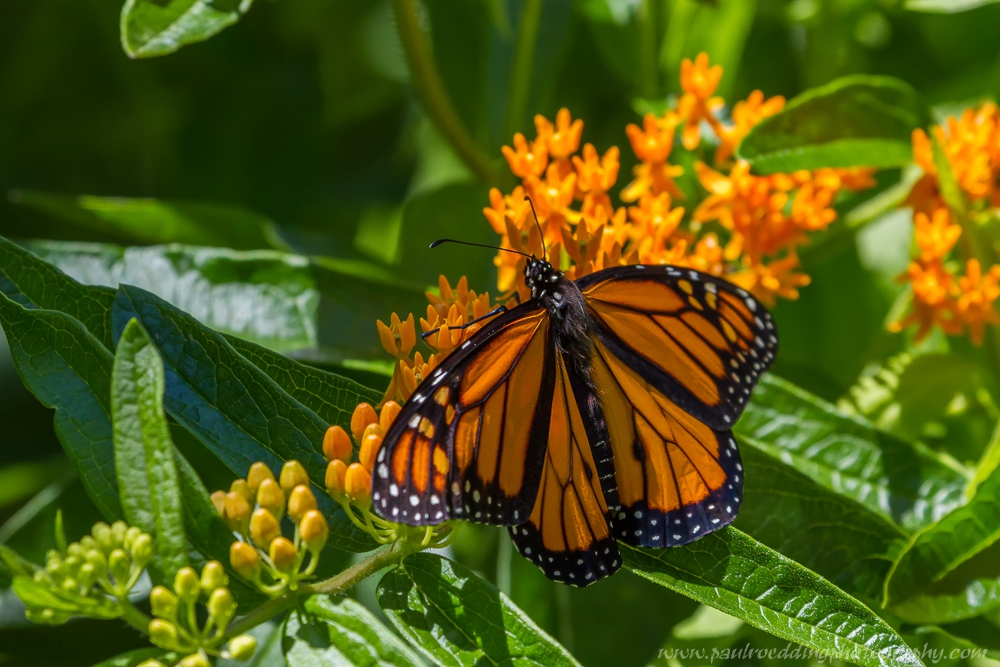 mon 1 - If You Plant It, They Will Come: <br> Success From My Monarch Waystation