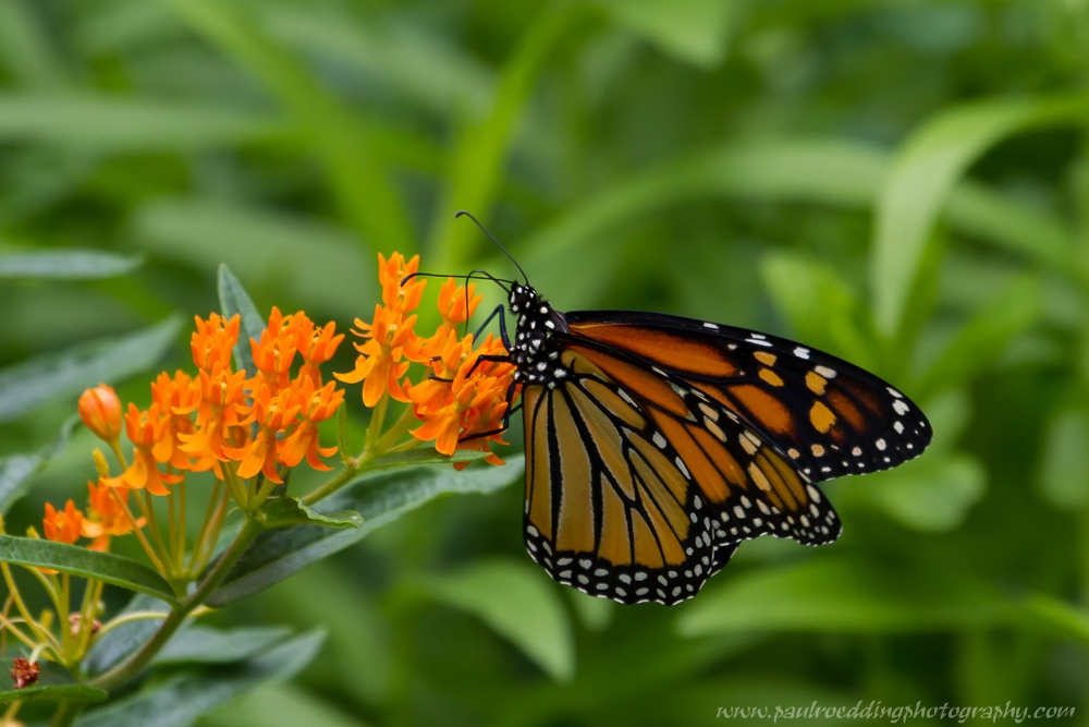 mon 2 - If You Plant It, They Will Come: <br> Success From My Monarch Waystation