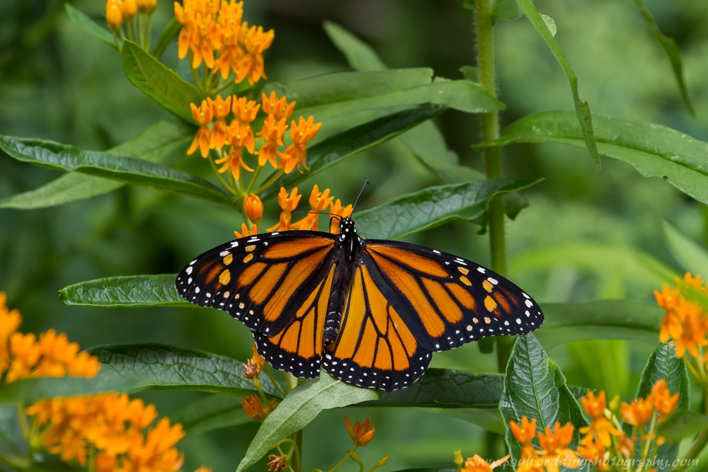 mon 3 - If You Plant It, They Will Come: <br> Success From My Monarch Waystation