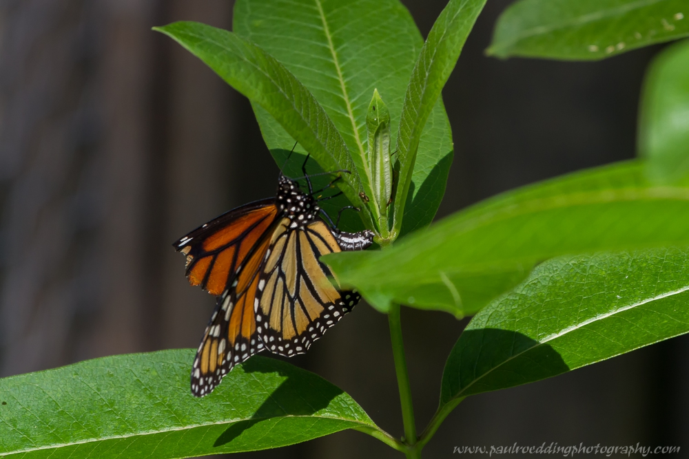 mon 4 - If You Plant It, They Will Come: <br> Success From My Monarch Waystation