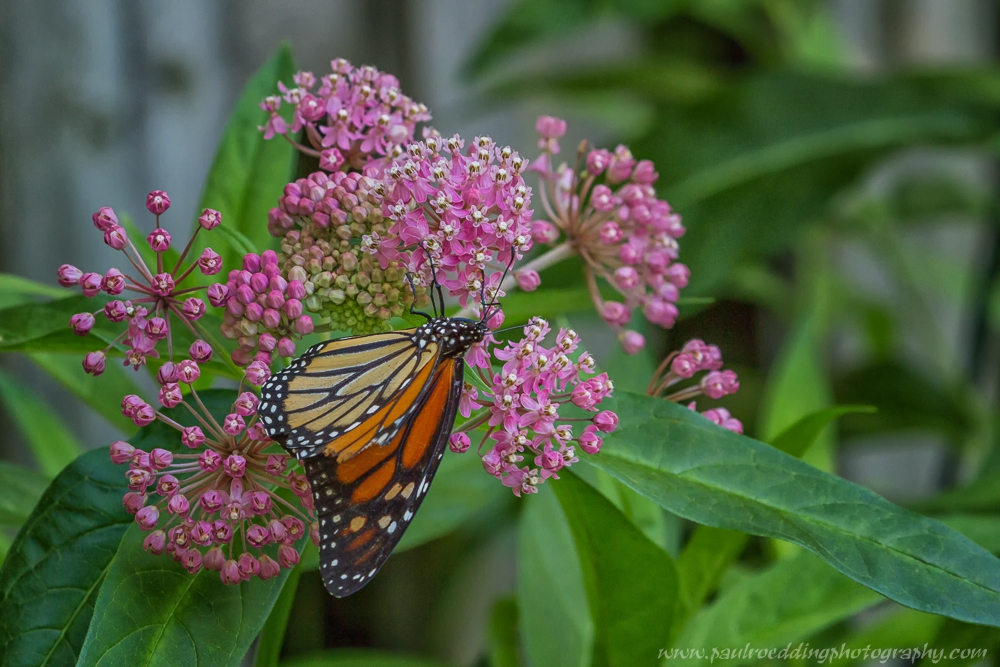 mon 5 - If You Plant It, They Will Come: <br> Success From My Monarch Waystation