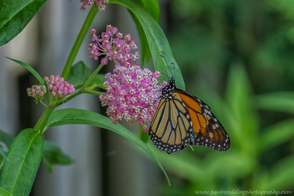 mon8 - If You Plant It, They Will Come: <br> Success From My Monarch Waystation