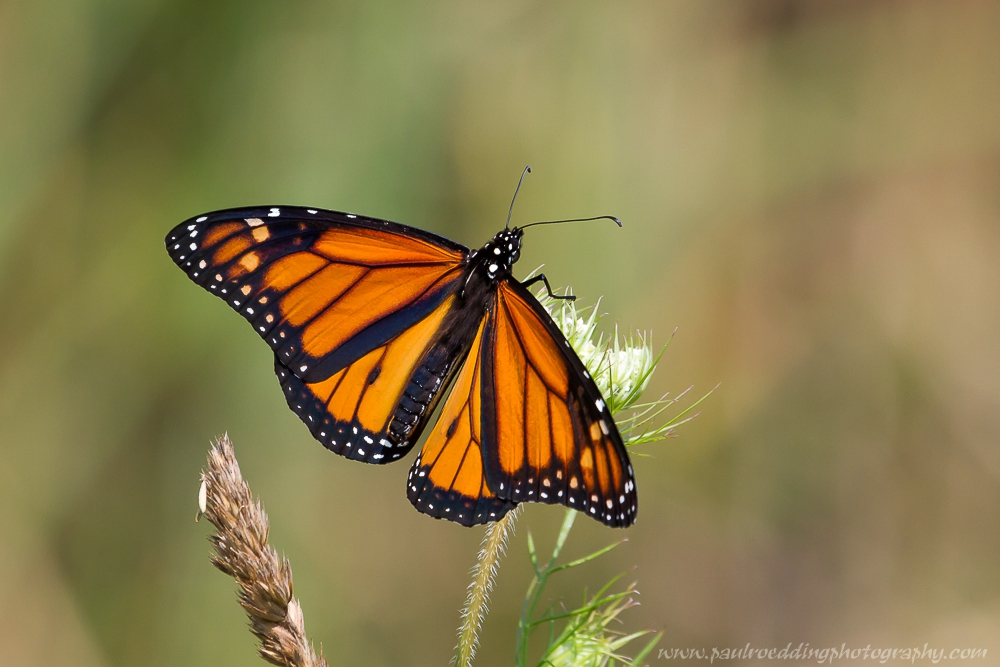 monarch - Monarch Or Viceroy? <br> Look For Subtle Differences To Positively Identify These Similar Butterflies