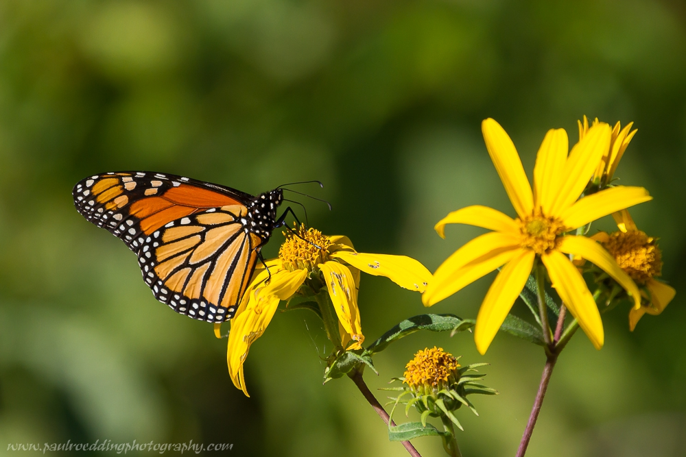monup - Monarch Or Viceroy? <br> Look For Subtle Differences To Positively Identify These Similar Butterflies