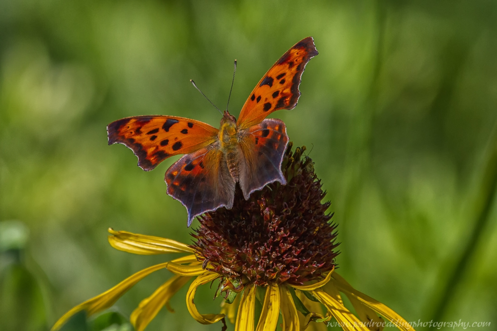 qm1 - Butterflies Provide Plenty Of Action During The Summer Months