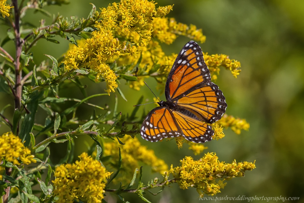 vicegold - Monarch Or Viceroy? <br> Look For Subtle Differences To Positively Identify These Similar Butterflies
