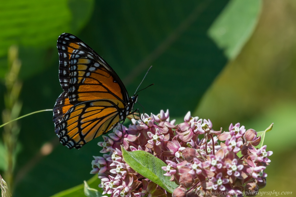 vr1 - Monarch Or Viceroy? <br> Look For Subtle Differences To Positively Identify These Similar Butterflies