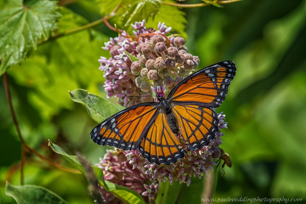 vr2 - Monarch Or Viceroy? <br> Look For Subtle Differences To Positively Identify These Similar Butterflies