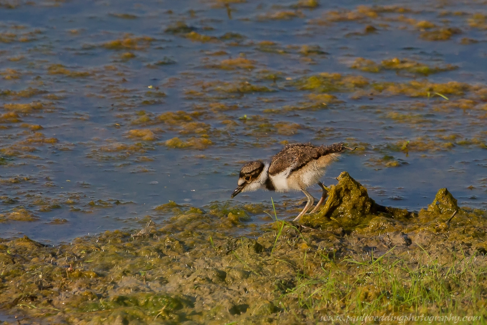 chick - Shorebirds Abound At The West Perth Wetlands