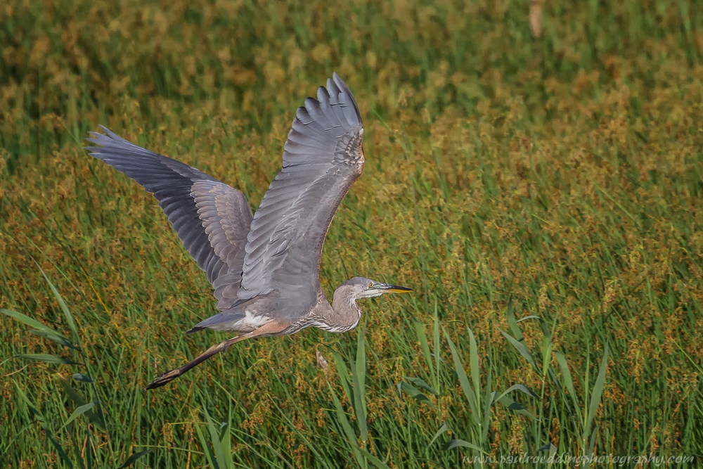 gbh - Shorebirds Abound At The West Perth Wetlands