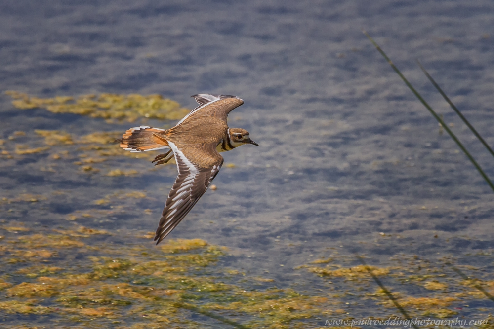 kd - Shorebirds Abound At The West Perth Wetlands