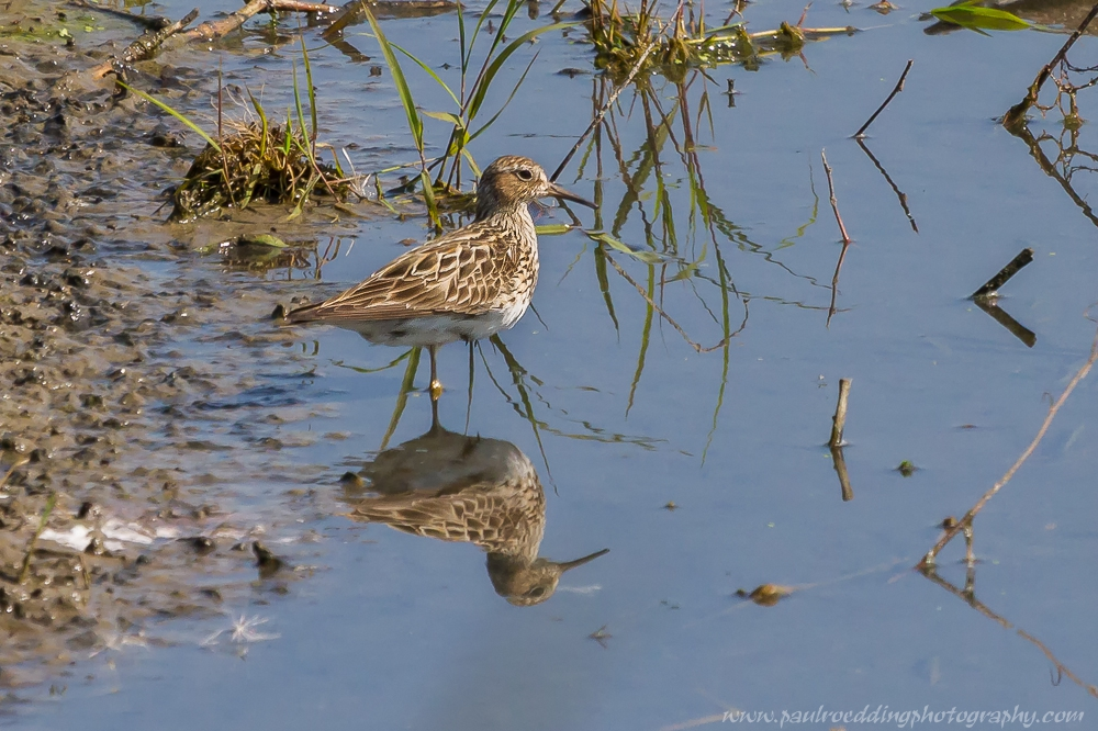 pect - Shorebirds Abound At The West Perth Wetlands