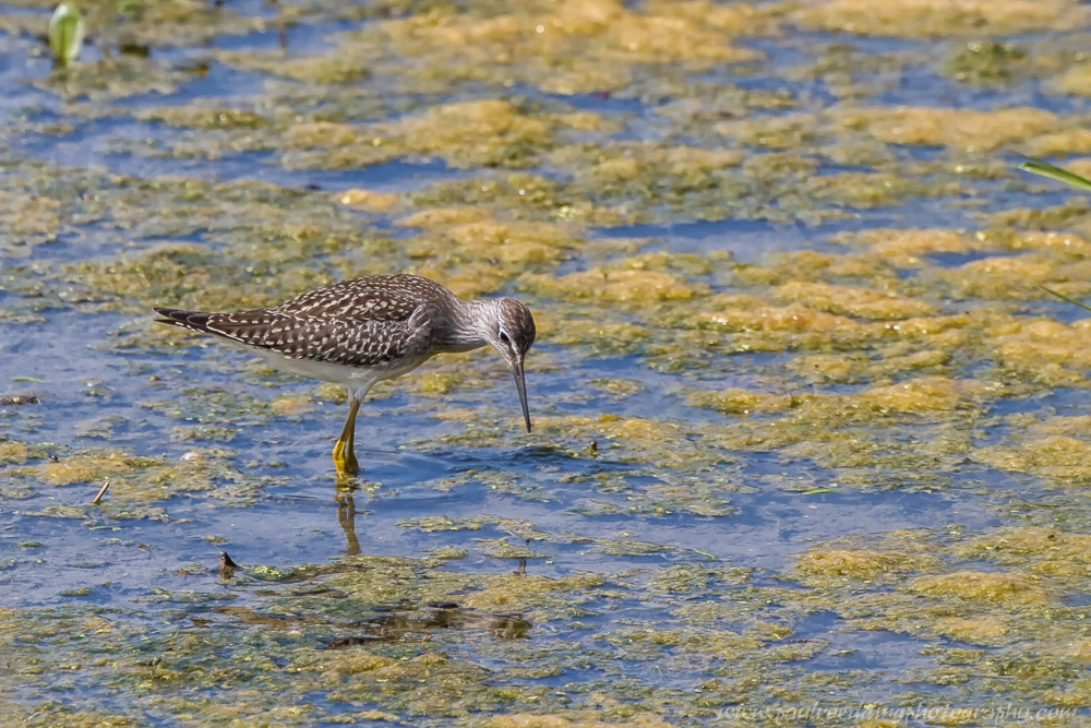 yellow - Shorebirds Abound At The West Perth Wetlands