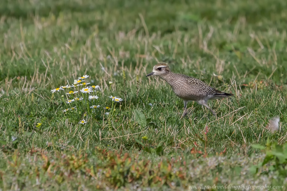 American Golden-Plovers are currently making their way through Southwestern Ontario as fall migration continues.