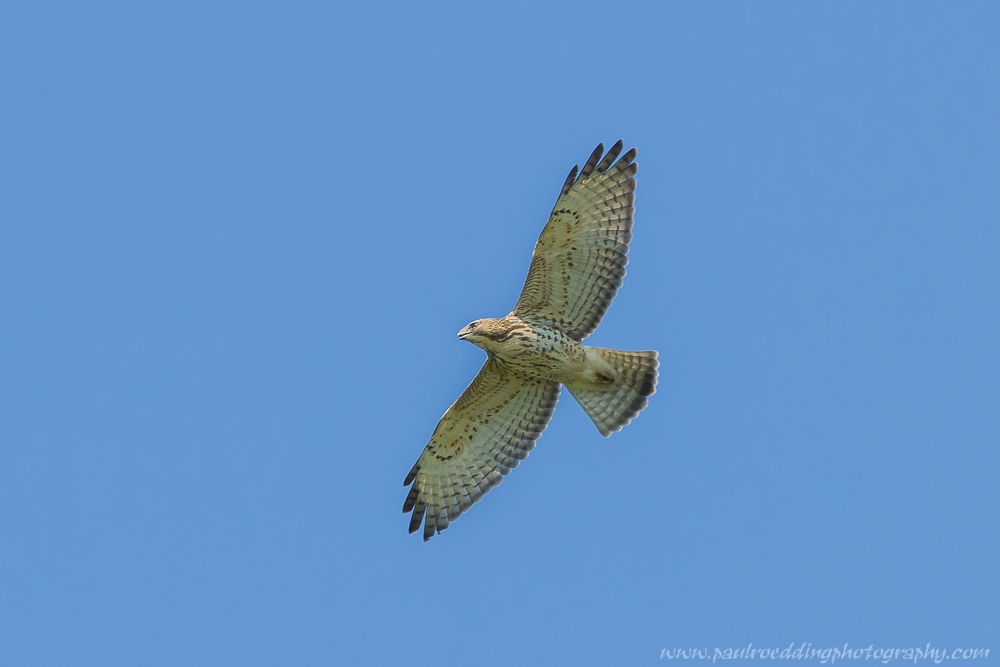 Each fall large kettles of Broad-winged Hawks move through our area. Like many birds Broad-wingeds prefer to migrate on a northwest wind.