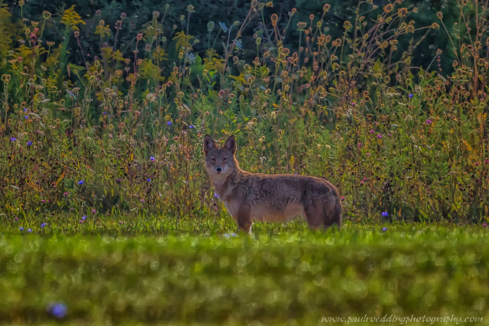 As the morning fog cleared and the sun came out, I this Coyote came into view at the edge of a meadow.