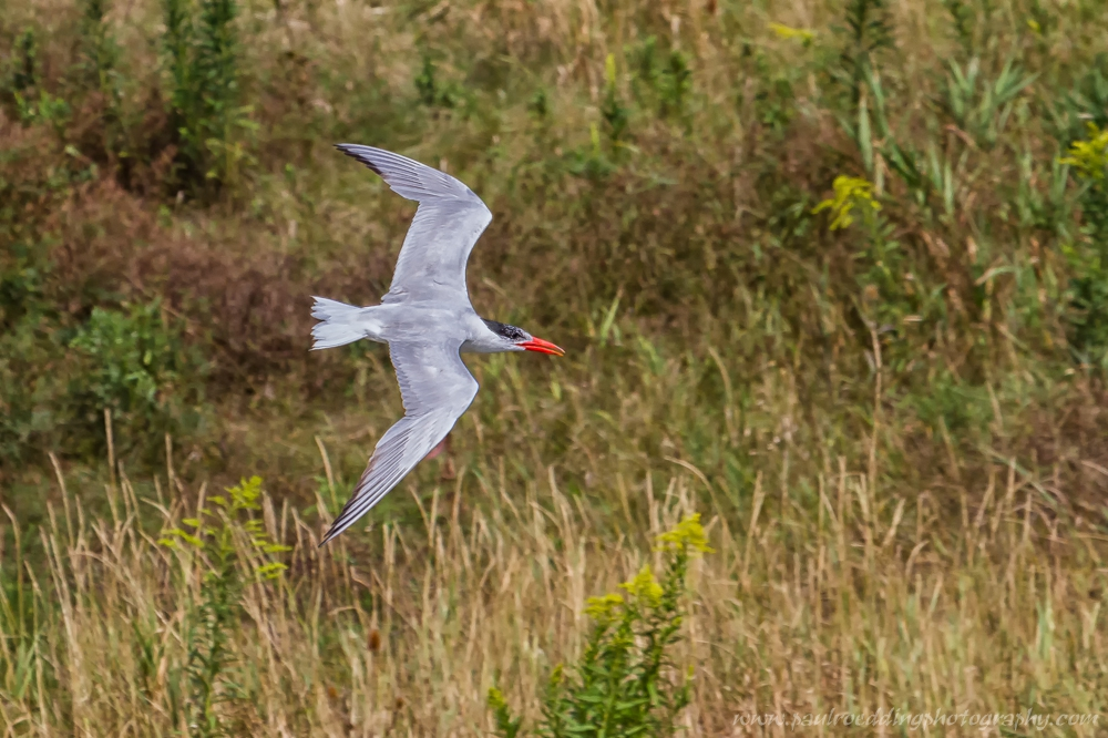 The far bank of a storm water management pond providing a unique backdrop for flight shots of this Caspian Tern.