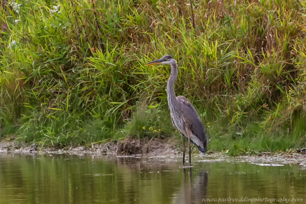 Great Blue Heron photographed along the edge of Ian Carmichael Pond in the Fingal Wildlife Management Area.
