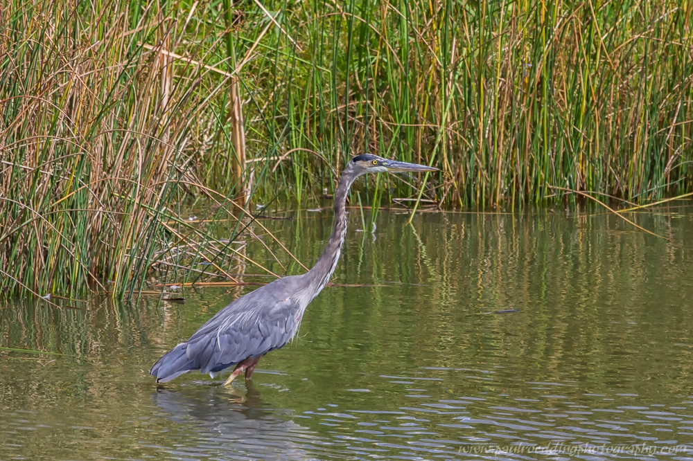 Birding at an area storm water management pond revealed this Great Blue Heron.