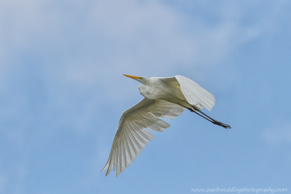 Great Egret flying over The Coves in south London.