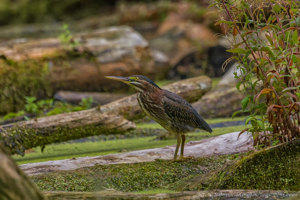 The highlight of my week was achieving close views of several Green Herons. These birds were unperturbed by my presence allowing me to capture several photographs.