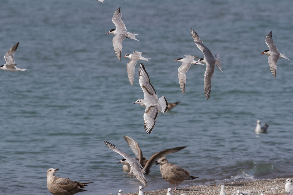 Bonaparte's Gull and terns are currently migrating through the Great Lakes region as fall migration continues.