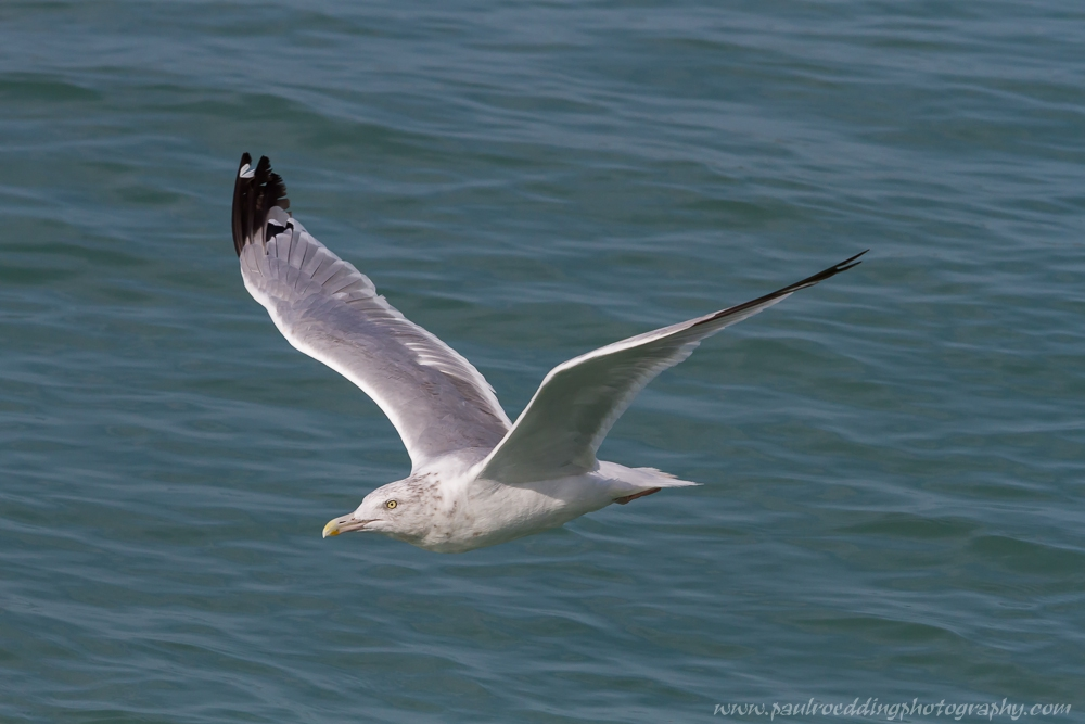 herring - Beaches Offer Great Birding Opportunities During Fall Migration