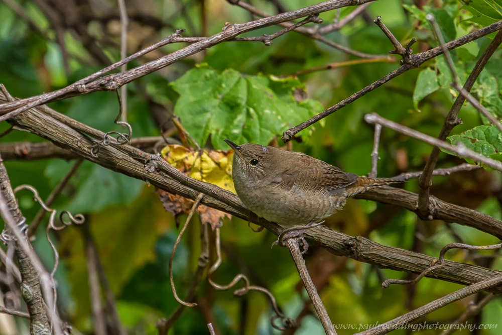 This House Wren was among the many songbirds I observed while birding around the Forest City.