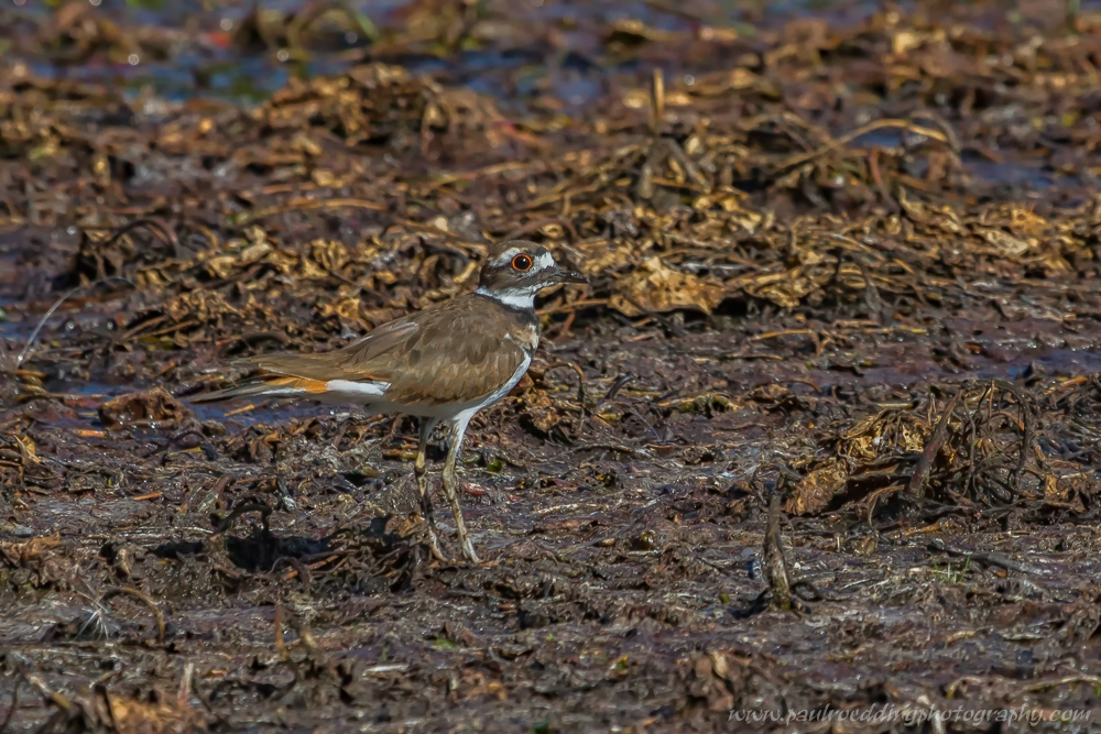 Low water levels on Spettigue Pond left mudflats exposed, which attracted this Killdeer.