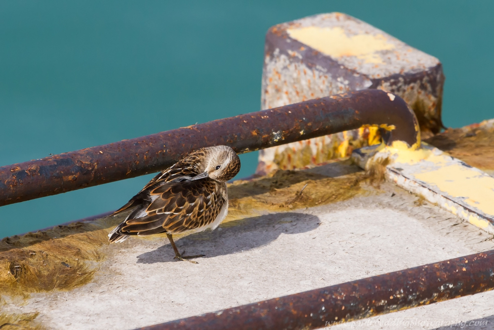 While not my first choice for a backdrop this Least Sandpiper seemed quite comfortable within the rusty metal rungs of the pier's ladder.