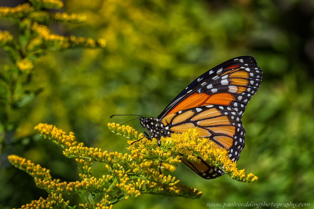 Monarch Butterflies were observed migrating in good numbers this past week. This particular Monarch stopped to nectar on my backyard goldenrod.