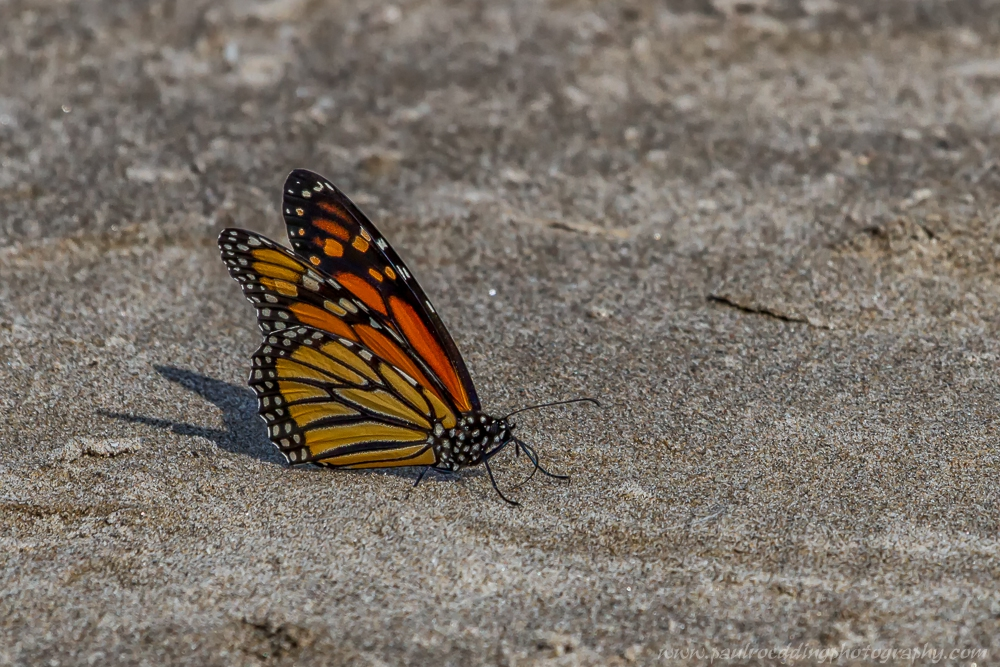 monarch - Beaches Offer Great Birding Opportunities During Fall Migration