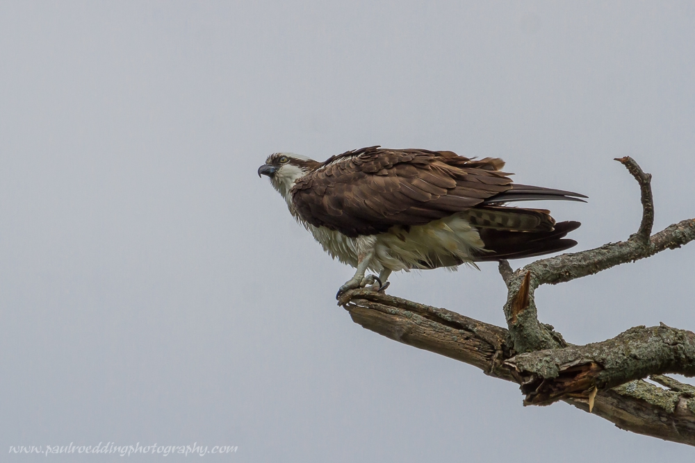 Birding at Greenway Park is always productive. This Osprey was among the birds observed there this past week.