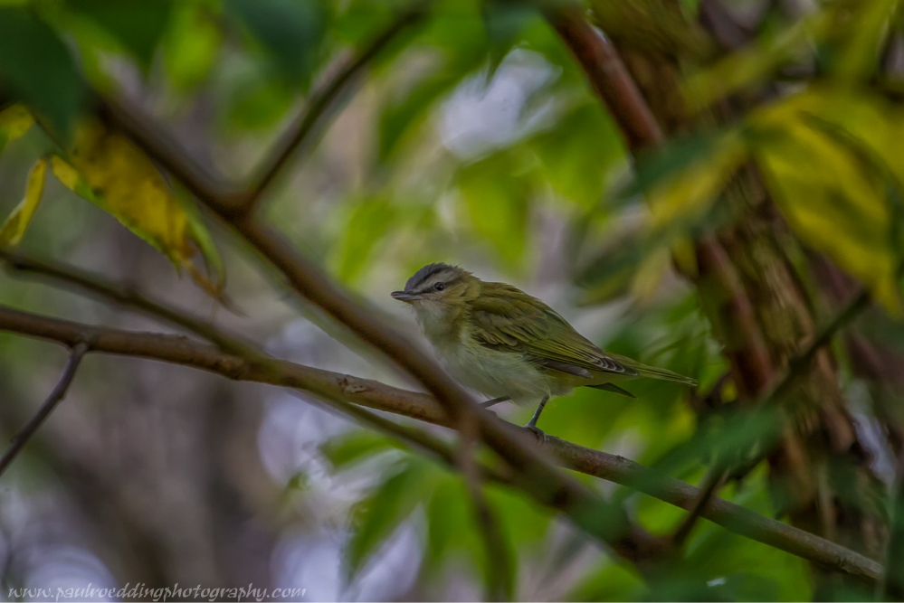 Red-eyed Vireos were among the many songbirds observed at Dalewood Conservation Area.