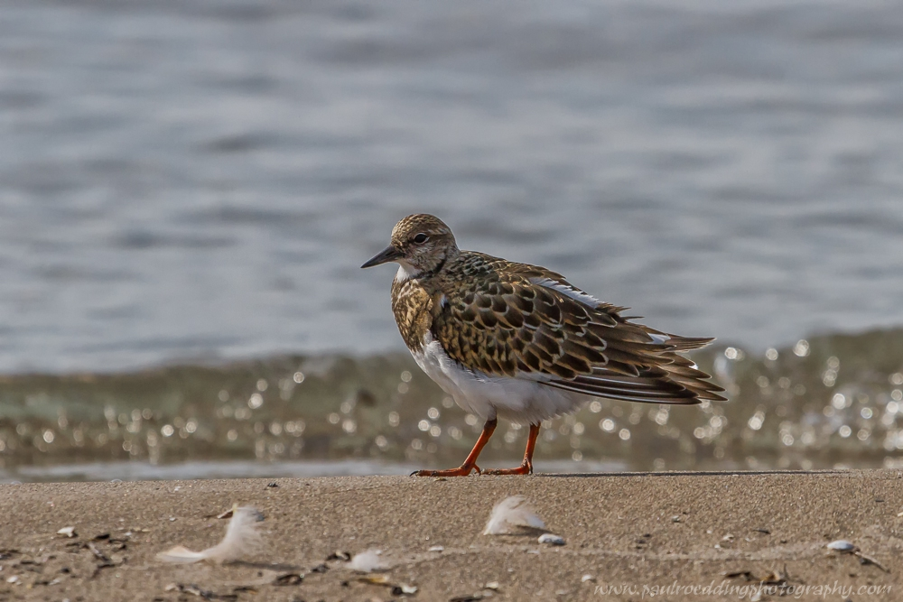 rt - Beaches Offer Great Birding Opportunities During Fall Migration