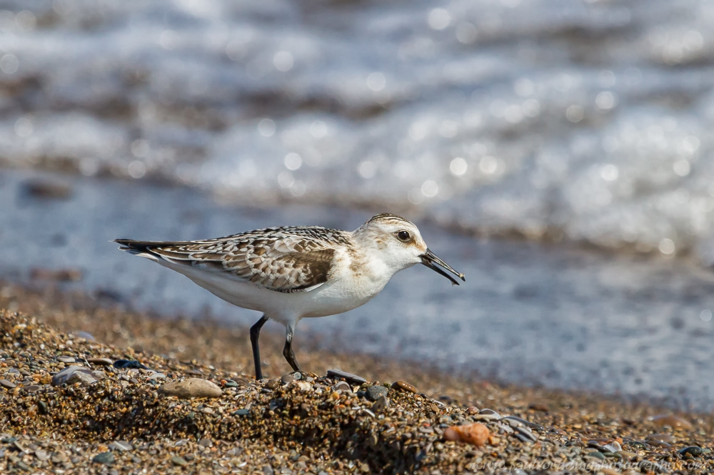 Achieving close views of my favourite shorebird, the Sanderling was a great way to celebrate my 40th birthday.