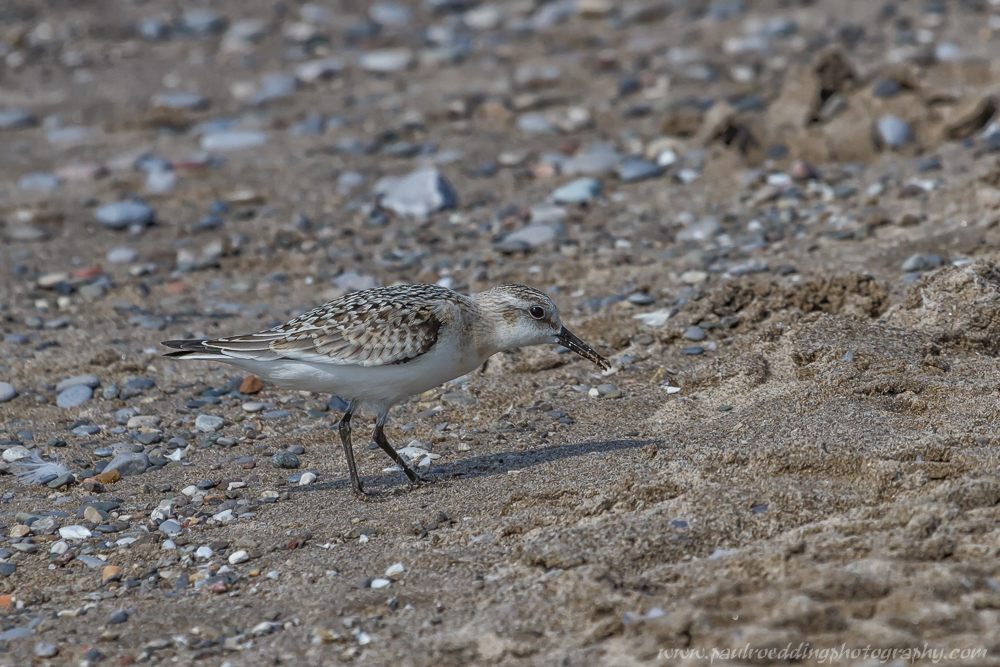 sanderling - Beaches Offer Great Birding Opportunities During Fall Migration