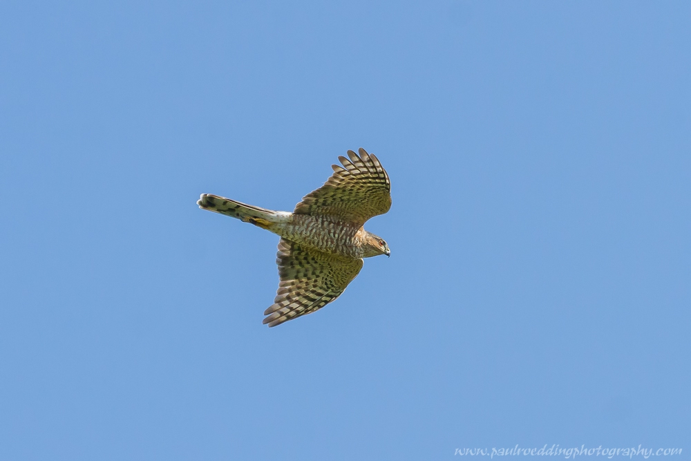Sharp-shinned Hawks filled the skies on a to Point Pelee National Park this past week.