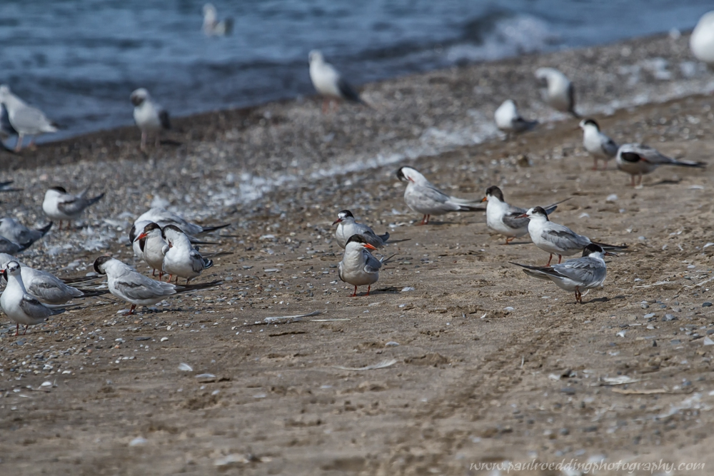 Close views of several tern species were had this past week on Port Stanley's main beach.