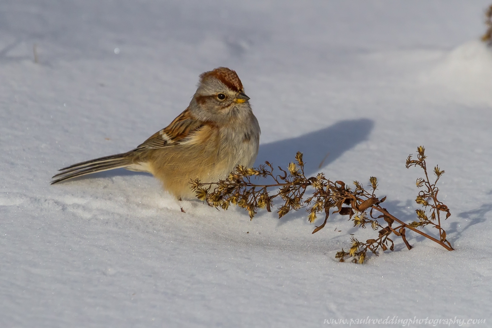 Last winter after a snowfall this American Tree Sparrow found food emerging from the snow in the from of seeds from this Calico Aster.