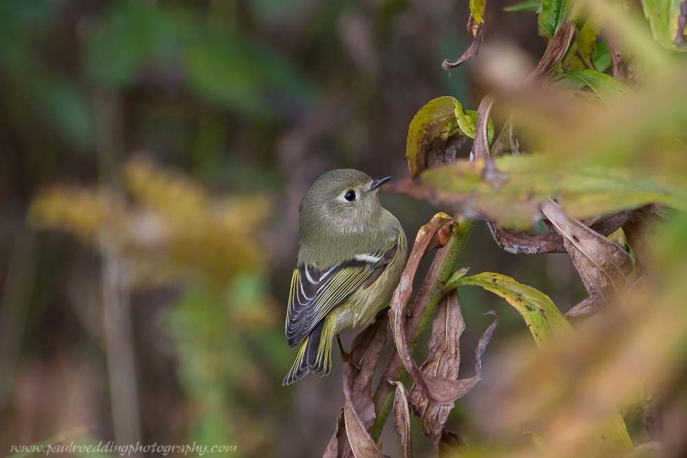 The dried foliage of my garden plants is home to many insects which attracts an abundance of birds including many Ruby-crowned Kinglets this past week.