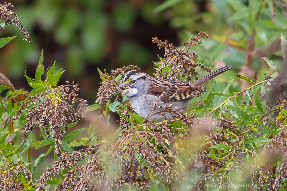 White-throated Sparrow enjoying the seeds from a goldenrod flower.