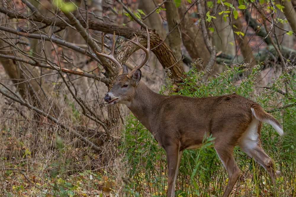 A large male White-tailed Deer standing in a forest.