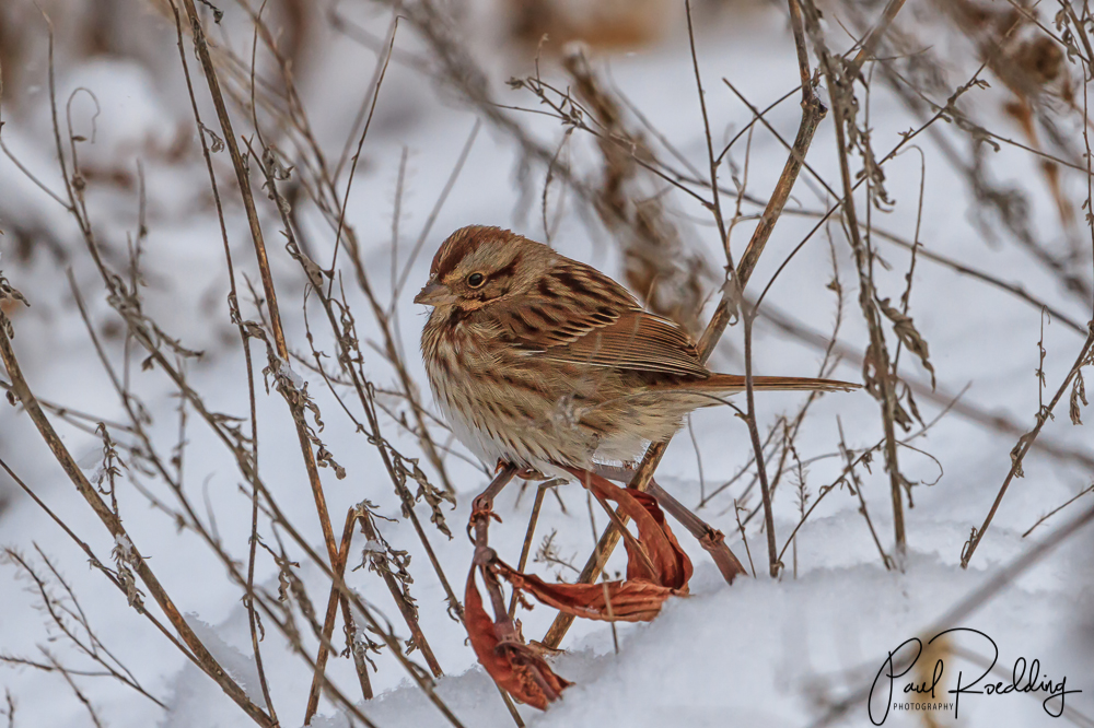IMG 2347 Edit Edit - Fresh Snow Provides The Perfect Backdrop For Photographing Birds