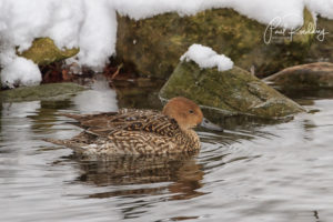 IMG 2969 Edit Edit 2 300x200 - A Proven Hot Spot For Winter Waterfowl
