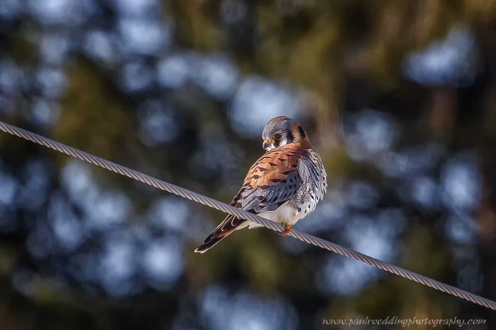 kestrel - Birding By Car: An Excellent Winter Option